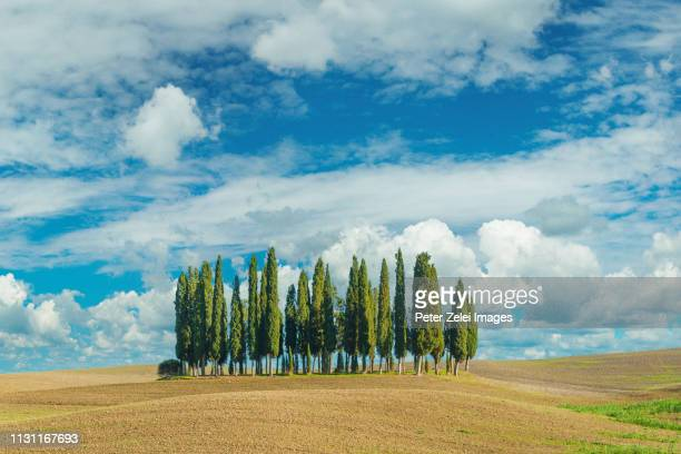cypress trees in tuscany - cypress tree stock pictures, royalty-free photos & images