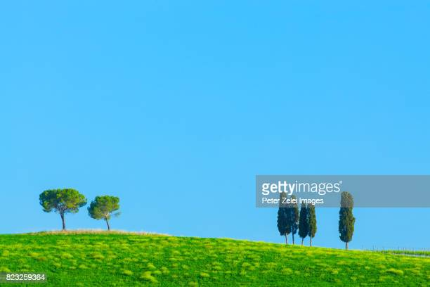 cypress trees in tuscany - italian cypress stock photos and pictures
