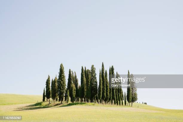 cypress trees on a hillside in tuscany - italian cypress stock photos and pictures