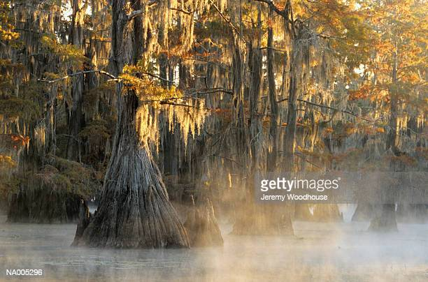 cypress trees - caddo lake stock pictures, royalty-free photos & images