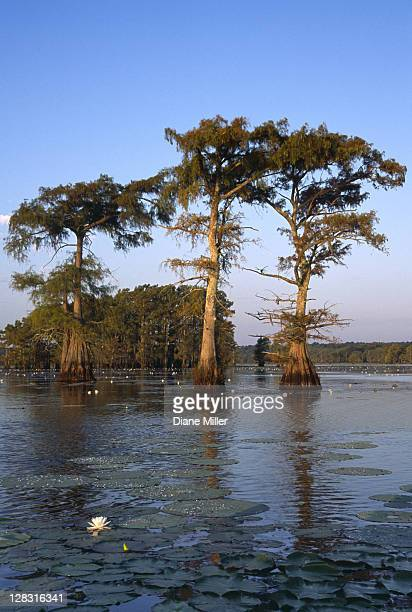 cypress trees with water lily. caddo lake, texas, 10-02, plant, tree, flower, water lily, cypress, nature, water, landscape, lake, sunrise, [similar 05184, 05185, 05186] - caddo lake stock pictures, royalty-free photos & images