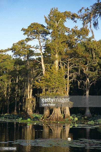 cypress treetrunks in cypress swamp. caddo lake, texas, 10-02, plant, tree, flower, water lily, cypress, nature, water, landscape, lake, aquatic plant, sunrise, [similar 05183, 05185, 05187] - caddo lake stock pictures, royalty-free photos & images