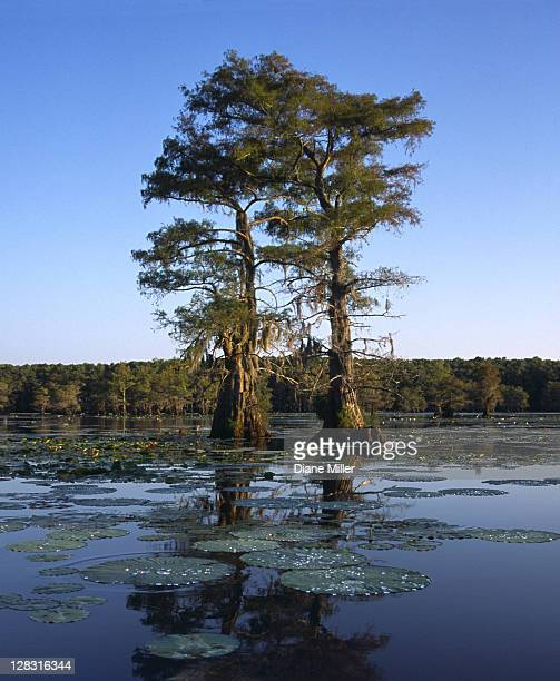 cypress twins with lily pads in cypress swamp. caddo lake, texas, 10-02, plant, tree, flower, water lily, cypress, nature, water, landscape, lake, aquatic plant, sunrise, [similar 05183, 05185, 05187] - caddo lake stock pictures, royalty-free photos & images