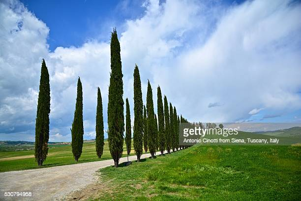 cypresses from val d'orcia - italian cypress stock pictures, royalty-free photos & images