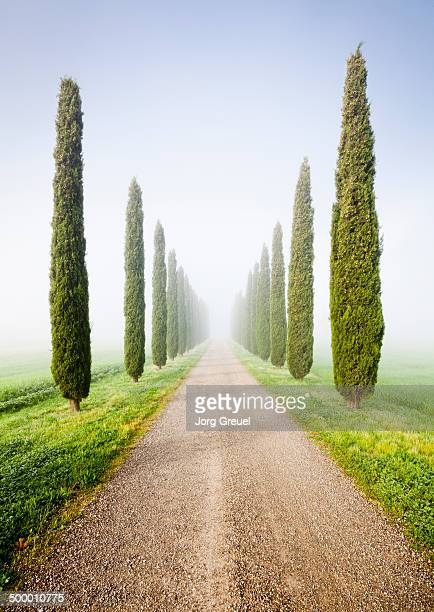 Cypresses in morning mist