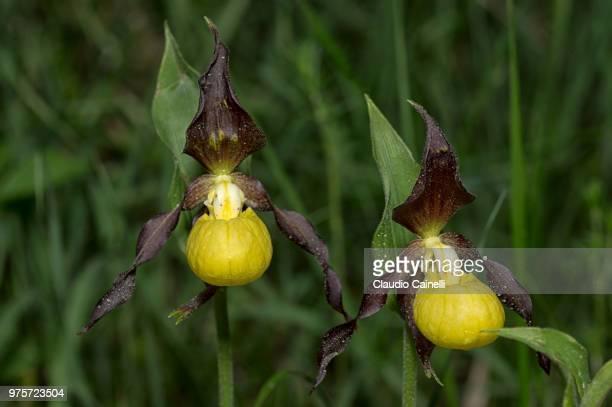Cypripedium calceolus