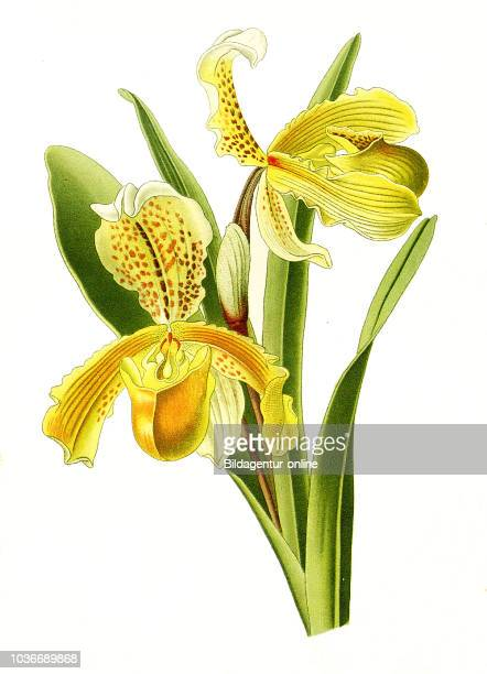 Cypripedium insigne Lady's Slipper orchid Orchidee digital improved reproduction from a print of the 19th century