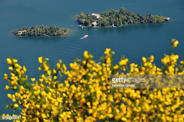 Cytisus Scoparius In Full Bloom (Scotch Broom) On Lake Maggiore