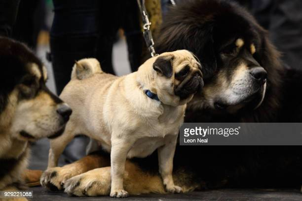Czkwska the Pug stands between two Tibetan Mastiffs at the Crufts dog show at the NEC Arena on March 8 2018 in Birmingham England The annual fourday...