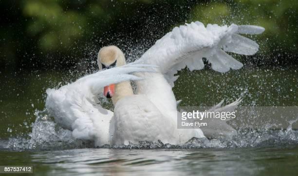 dabbing swan - big bird stock photos and pictures