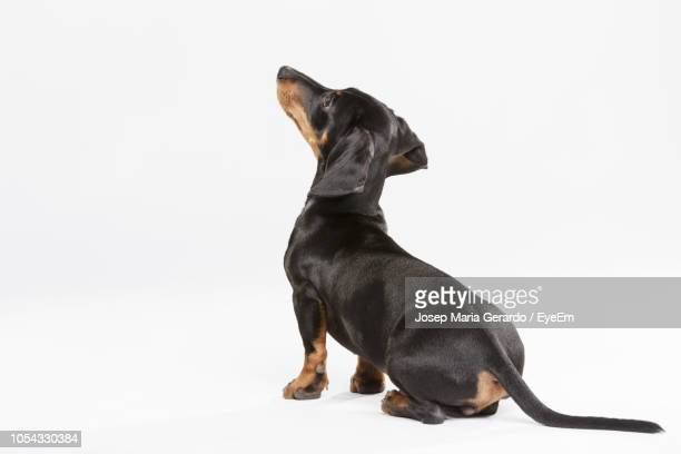 Dachshund Against White Background