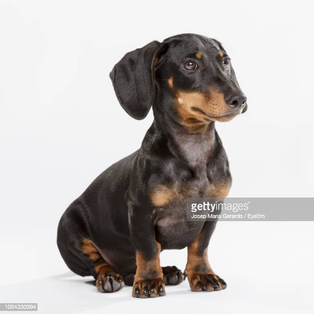 dachshund against white background - dachshund stock pictures, royalty-free photos & images