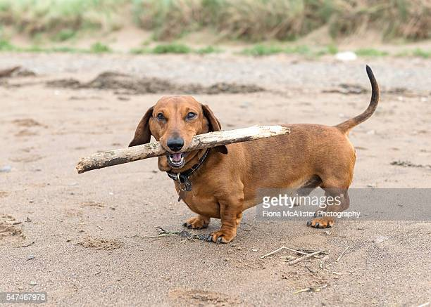 Dachshund And His Stick