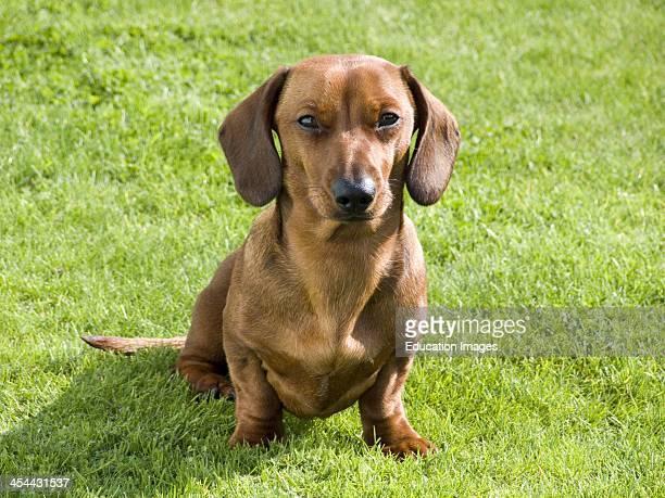 Dachshund, Dog, England, Isle of Wight.