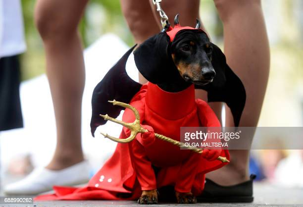 A dachshund dog wears a Prince of this World or devil costume during an annual dachshund parade in Saint Petersburg on May 27 2017 / AFP PHOTO / OLGA...