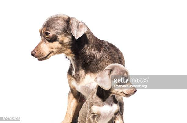 Dachshund Dog with Puppy - The Amanda Collection