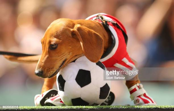A dachshund dressed as a football player competes in The Best Dressed Dachshund Costume Parade during the annual Teckelrennen Hophaus Dachshund Race...