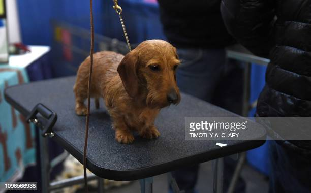 A Dachshund during the 10th Annual Meet the Breeds event as the The American Kennel Club and Westminster Kennel Club present Meet Compete on February...