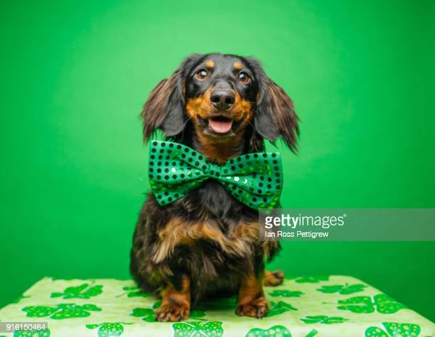 dachshund for st. patrick's day - dachshund holiday stock pictures, royalty-free photos & images
