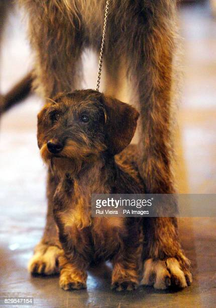 60 Top Wire Haired Dachshund Pictures, Photos, & Images