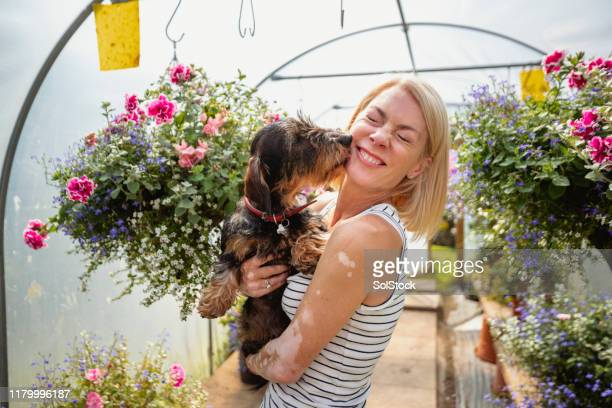 dachshund gives her owner a kiss - showus stock pictures, royalty-free photos & images