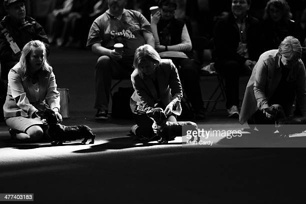 Dachshund hounds are judged in a show ring on the second day of the Crufts dog show at the NEC on March 7 2014 in Birmingham England Said to be the...