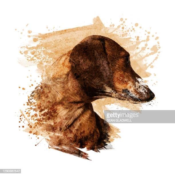 dachshund illustration - period bildbanksfoton och bilder