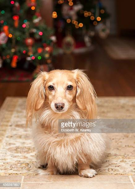 dachshund in front of the christmas trees - long haired dachshund stock photos and pictures