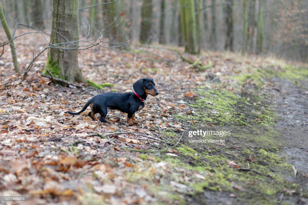 Dachshund in the forest : Stock Photo