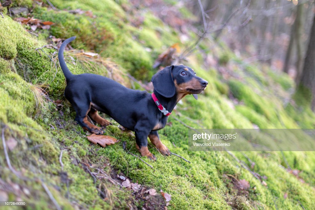 Dachshund in the forest, searching for trails : Stock Photo