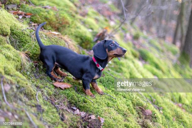 dachshund in the forest, searching for trails - teckel stock photos and pictures