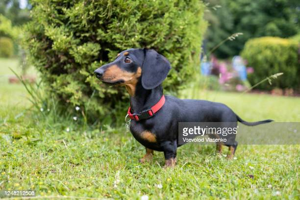 dachshund in the garden - dachshund stock pictures, royalty-free photos & images