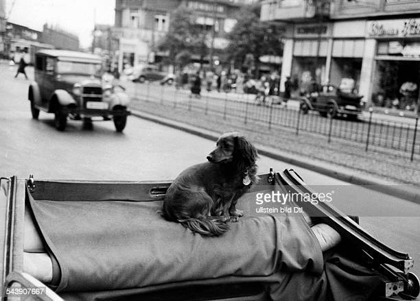 Dachshund is sitting in the back seat of a convertible Photographer Curt Ullmann Published by 'Hier Berlin' 31/1938Vintage property of ullstein bild