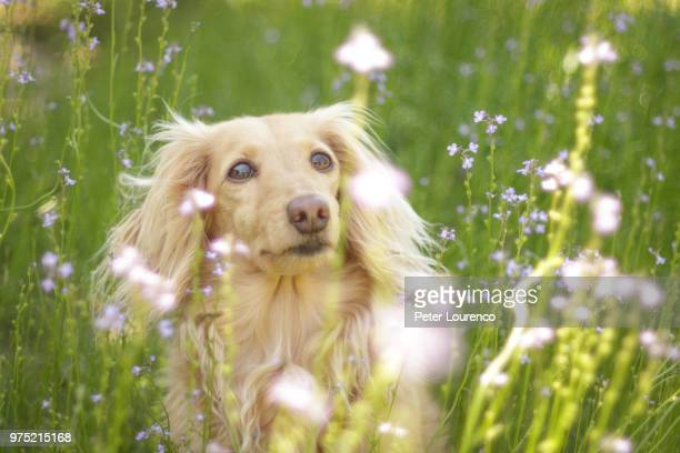 Dachshund lying in meadow