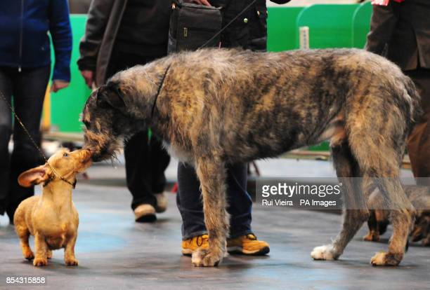 A dachshund meets a Irish WolfHound during at Crufts 2013