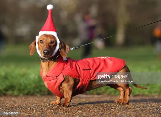 Dachshund Mizar takes part in a sausage dog festive walk in Hyde Park, London.