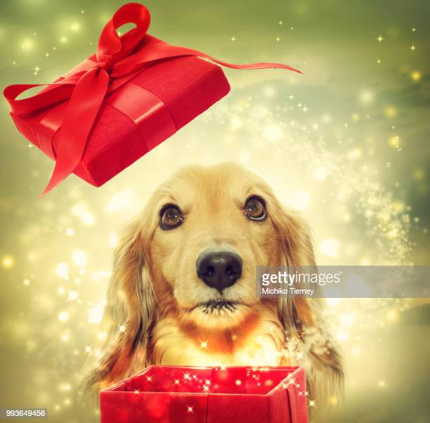 dachshund opening a magic box - dachshund christmas stock pictures, royalty-free photos & images