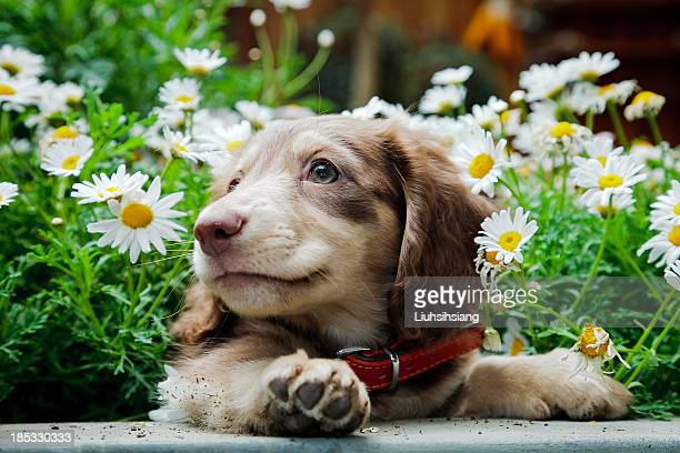 dachshund - dachshund stock pictures, royalty-free photos & images