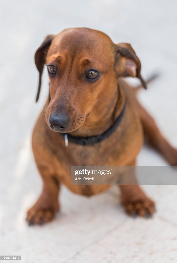 dachshund : Stock-Foto