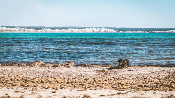 Dachshund play on the beach with posidonia oceanica in majorca