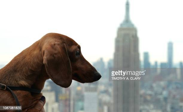 A Dachshund poses for photos on the Top of the Rock Observation Deck January 23 2019 in New York The 143rd Annual Westminster Kennel Club Dog Show is...