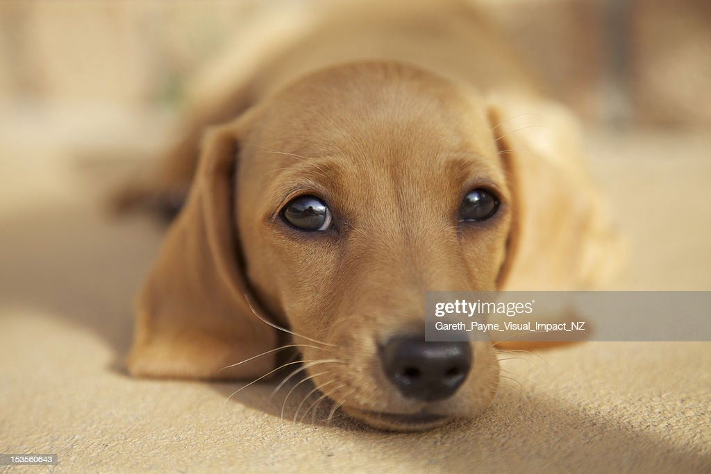 Dachshund Puppy 8 Weeks Old High Res Stock Photo Getty Images