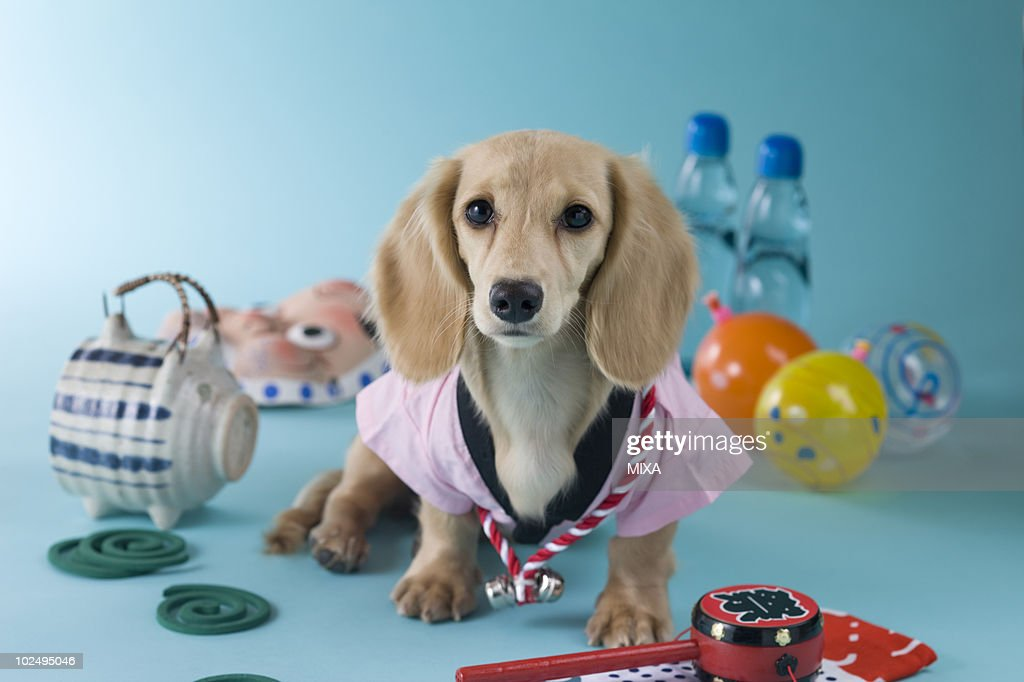 Dachshund Puppy and Summer Festival : ストックフォト