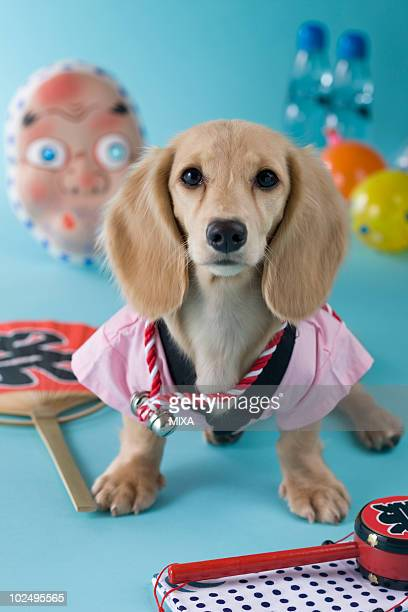 dachshund puppy and summer festival - 手ぬぐい ストックフォトと画像