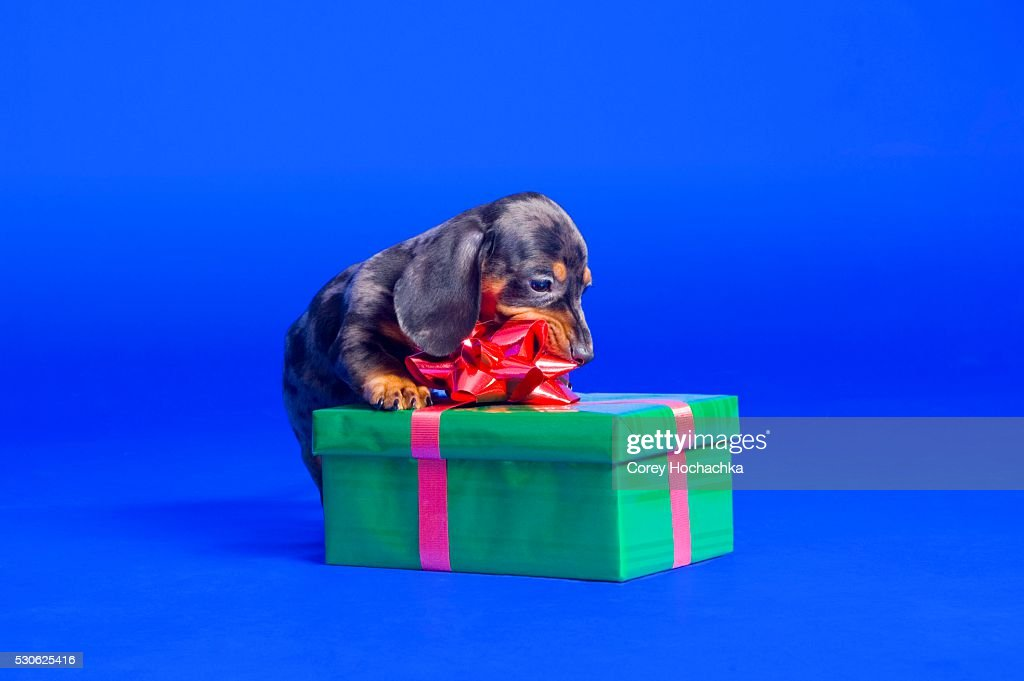 Dachshund Puppy Chewing on Ribbon : Stock Photo