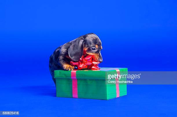 dachshund puppy chewing on ribbon - dachshund christmas stock pictures, royalty-free photos & images