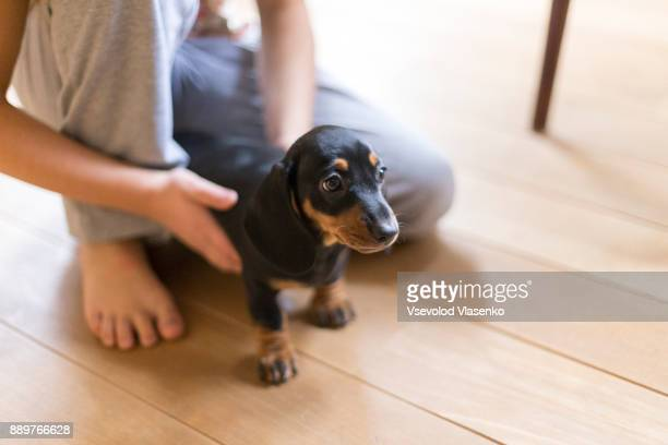 dachshund puppy in kids hands - teckel stock photos and pictures
