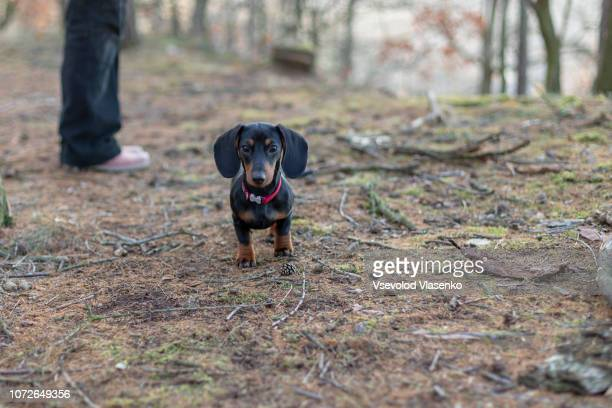 dachshund puppy in the forest - teckel stock photos and pictures