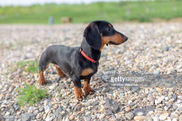 dachshund puppy on the beach. - dachshund stock pictures, royalty-free photos & images