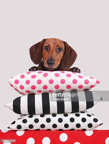 dachshund puppy on the couch cushions - cushion stock pictures, royalty-free photos & images